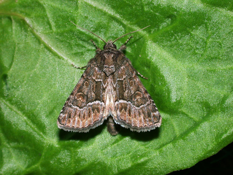 Thalpophila matura la noctuelle cyth r e for Vers gris noctuelles