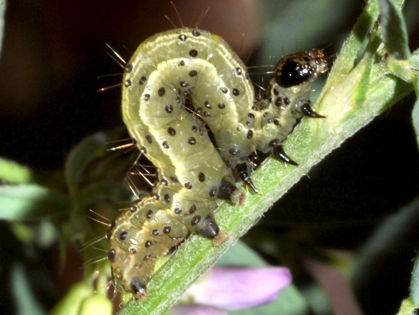 lepinet fr - Trichoplusia ni - Le Ni, la Plusie ni