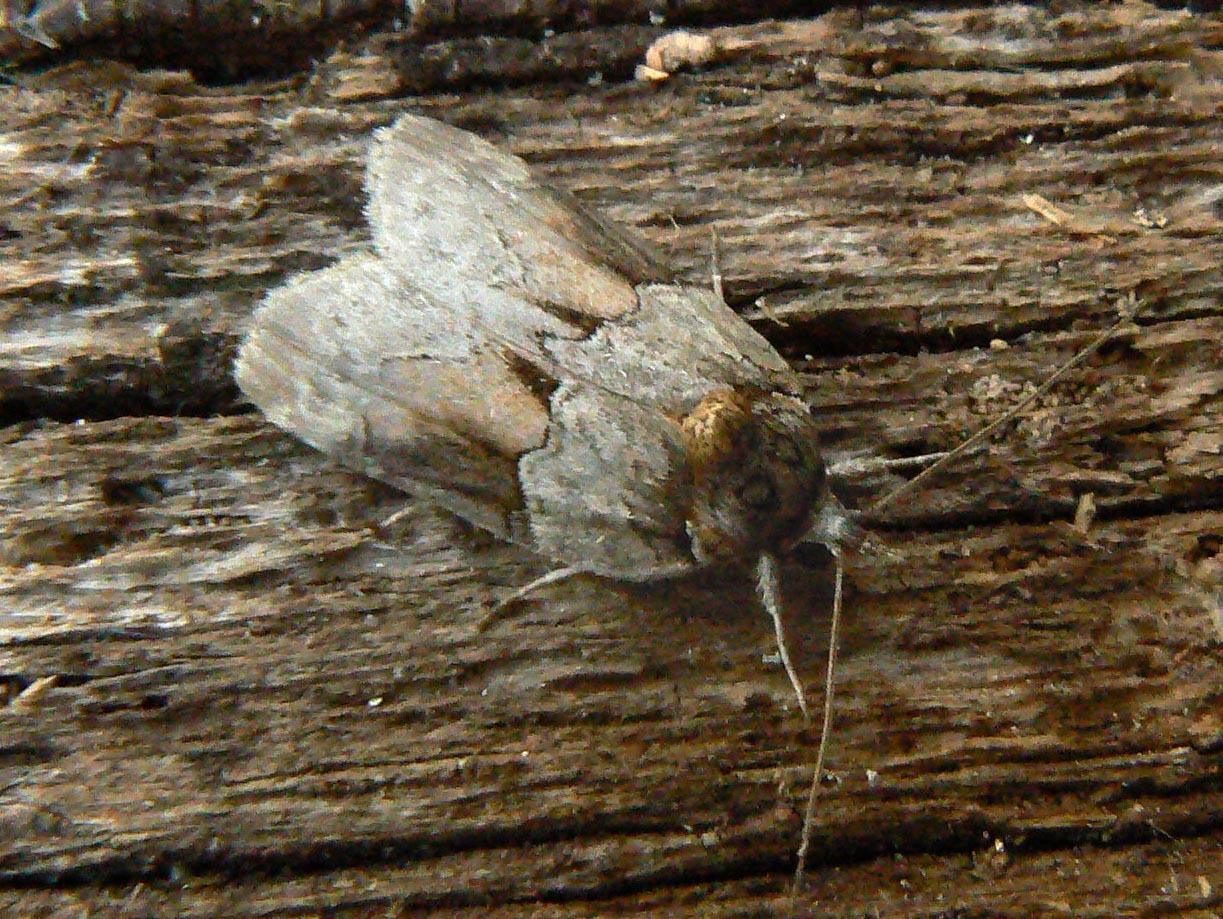 lepinet.fr - Nycteola siculana - La Nyctéole du Peuplier
